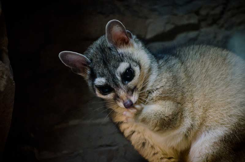 Ringtail Cacomistle