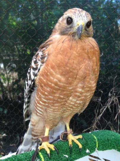 Animal Stories Our Great Horned Owl Red Shouldered Hawk