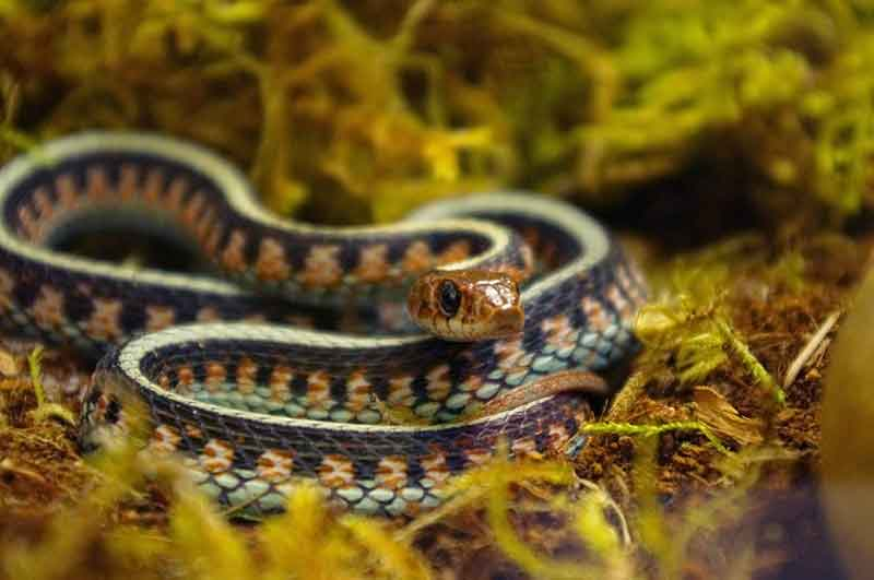 California Red-Sided Gartersnake