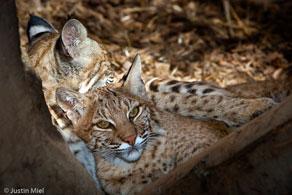 bobcat_feeding
