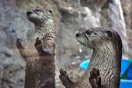 otter_feeding