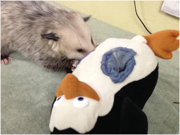 Opossum, Animal enrichment