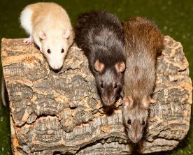 Three mice crawling