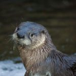 River otter, up close