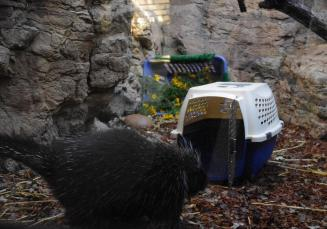 Porcupine at crate