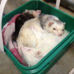 Ferrets sleeping in bin