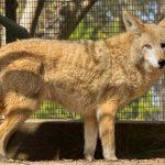 Sierra the coyote tribute