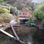 CuriOdyssey Great Blue Heron