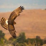Picture of Harrier by Kevin Shoban
