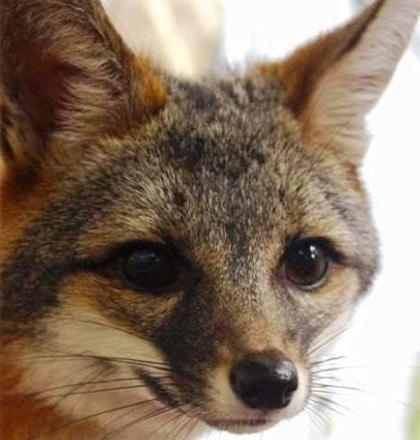 Dylan the gray fox