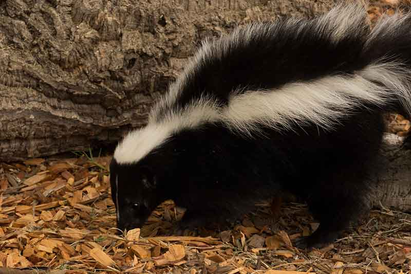Striped Skunk on Animal Facts Great Blue Heron