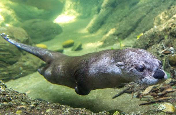 River otter swims underwater