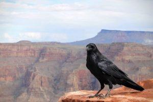 Raven_GrandCanyon