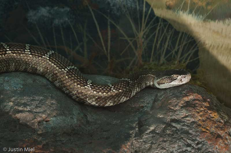 Northern Pacific Rattlesnake - CuriOdyssey