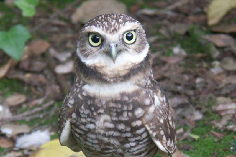Burrowing Owl Curiodyssey