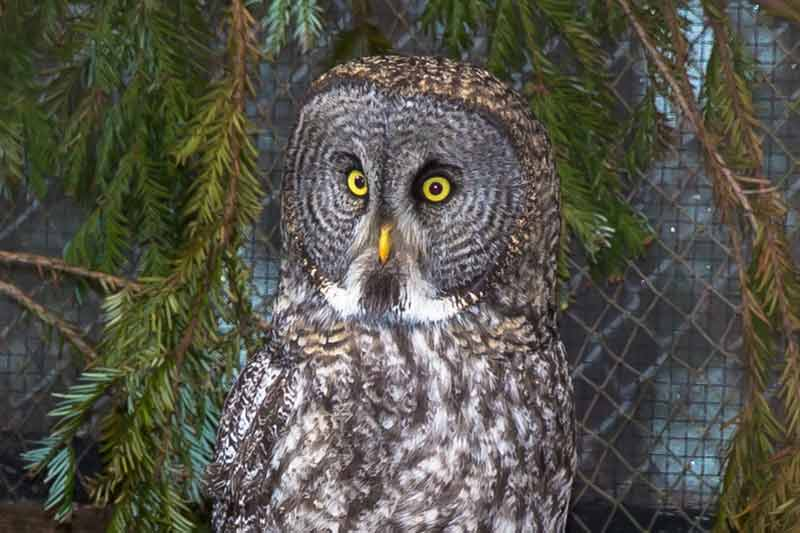 great gray owl facts - 800×533