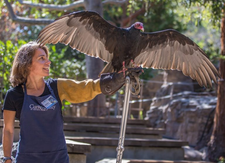 Woman holds out arm, turkey vulture perches on glove