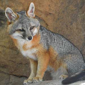 Gray Fox wildlife conservation