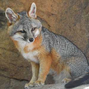Gray Fox wildlife conservation