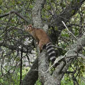 Ringtail wildlife conservation