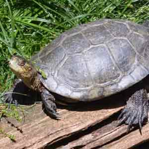 Western Pond Turtle wildlife conservation