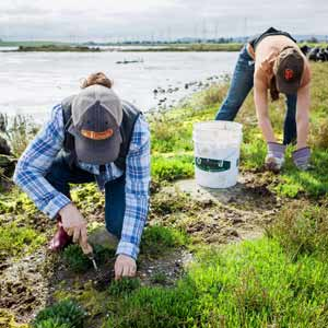 Volunteers remove invasive plant from marsh.