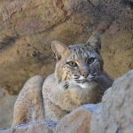Bobcat lays down on rocks