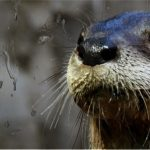 river otter Gunner at CuriOdyssey