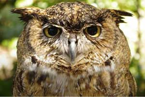 Head of great horned owl
