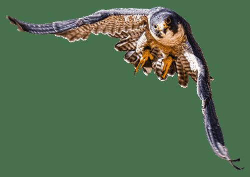 Raptor flying