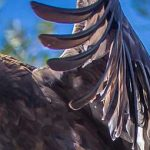 Golden eagle with wings outstretched