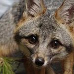 Gray fox and greenery