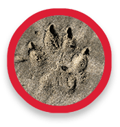 Animal track of paw in earth