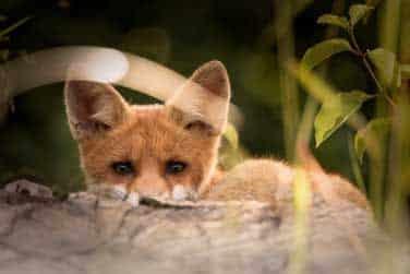 Fox crouches behind a rock.