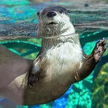otter swimming-210x210