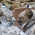 Two bobcats facing each other with eyes closed