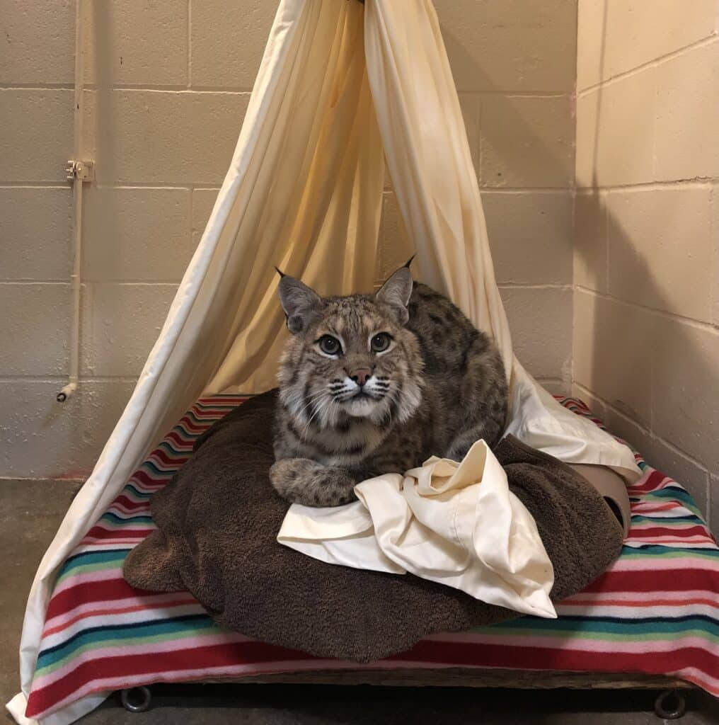 Frankie the Bobcat Recovering