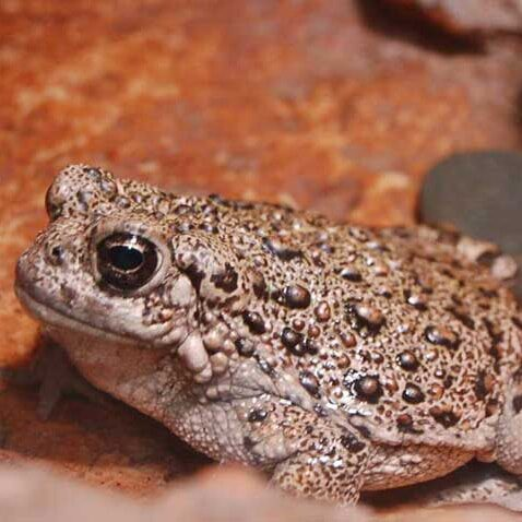 Amphbians-western-toad