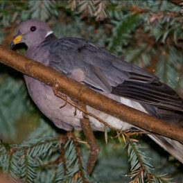Birds-Band-Tailed-Pigeon