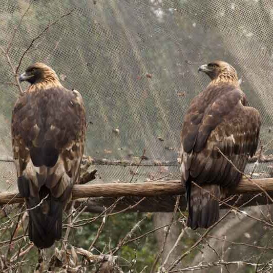 Birds-Golden-Eagle