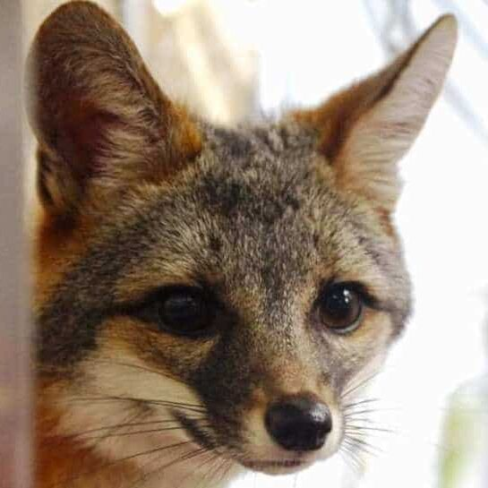 Dylan the gray fox