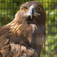 eagle Ishta