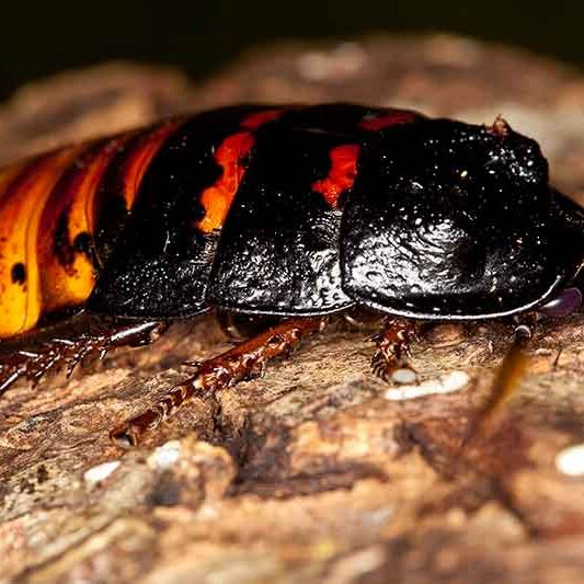 Inverts-Hissing-Cockroach