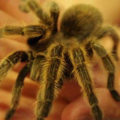 Inverts-Rose-Hair-Tarantula