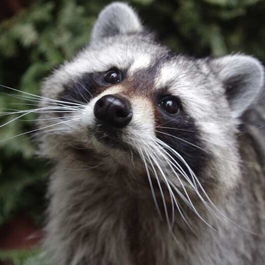 Mammals-Raccoon