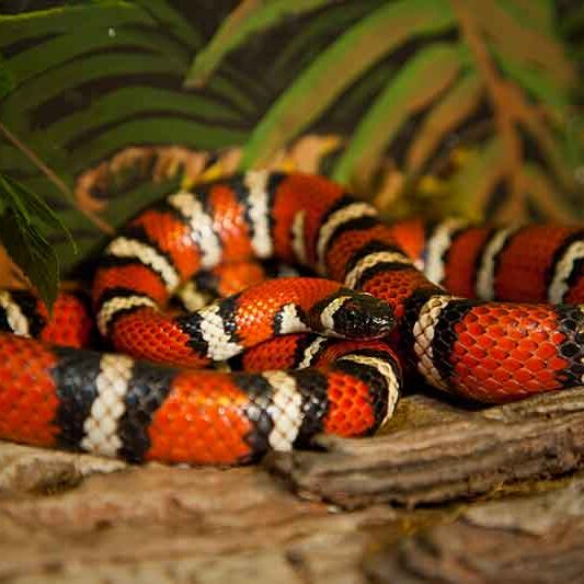 Reptiles-CA-Mountain-Kingsnake