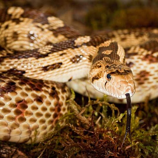 Reptiles-Gopher-Snake