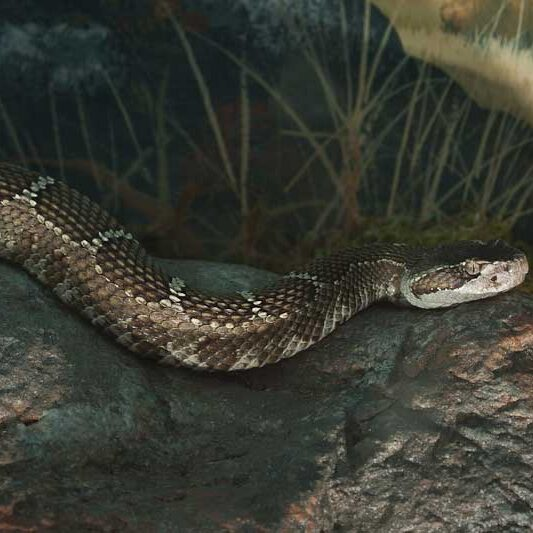 Reptiles-Northern-Pacific-Rattlesnake