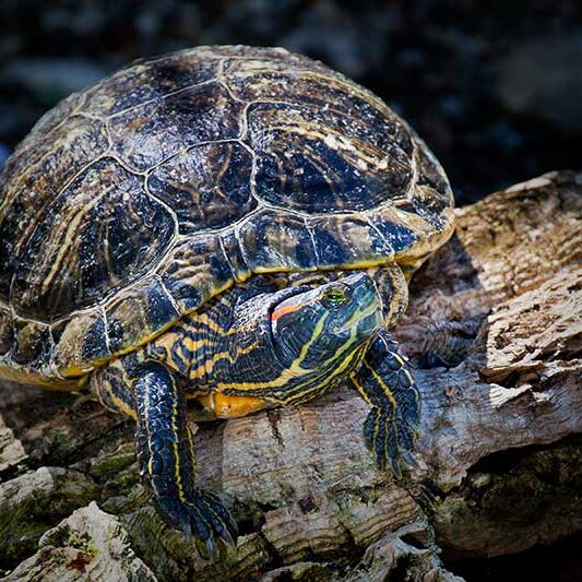 Reptiles-Red-eared_Slider