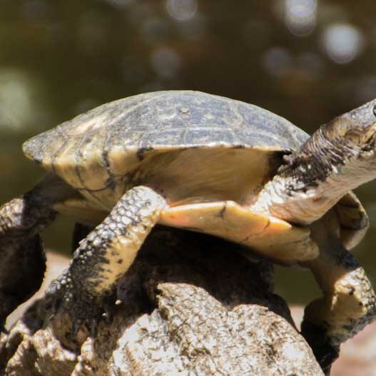 Reptiles-Western-Pond-Turtle